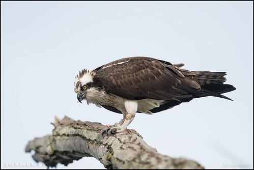 VA Osprey   by Nikographer [Jon]