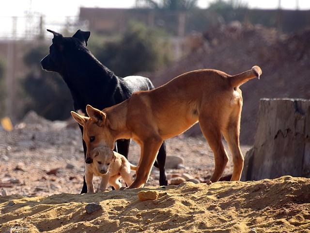 Wildhunde_Aegypten_tx_DSC_0953