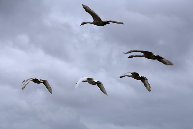 Swans flying over the Humber at New Holland
