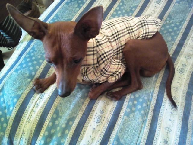 cane sul letto -- dog in bed