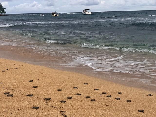 Crías de tortuga marina en Santo Tomé y Príncipe