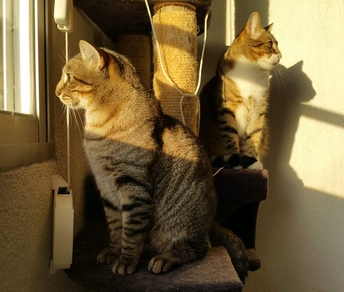 Cotton y Cobby, gatos pardo y blanquipardo inseparables, nacidos en Febrero´15, necesitan adopción Conjunta. Valencia. 32012843848_e54743bbf2