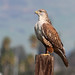 Ferruginous Hawk - Photo (c) Jamie Chavez, some rights reserved (CC BY-NC)