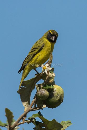 195finchescrossbilsallies birds riftvalley kenya africa africancitril