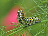 12 Days of Christmas Butterflies - #2 Black Swallowtail caterpillar chowing down on fennel by Vicki's Nature