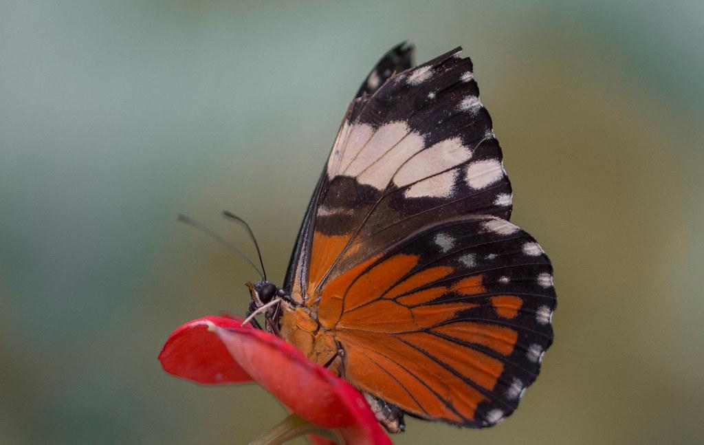 Hamadryas amphinome