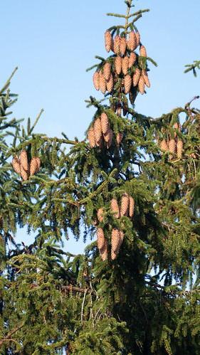 Dangling cones, high on tree