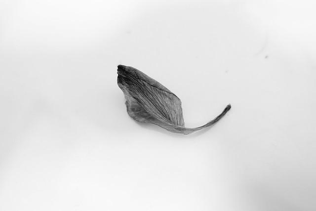 last petal falls.