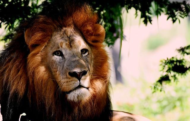 Lion DSC_9988