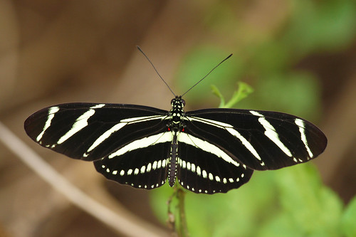 zebraheliconian zebralongwing heliconiuscharithonia butterfly insect fall riverview florida upnort erikstabl fredandidahshultznaturepreserve fredandidahshultzpreserve