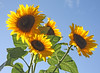 Breezy Sunflowers - Kath Guellard