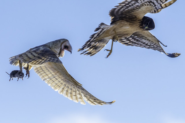 Barn Owl and Northern Harrier