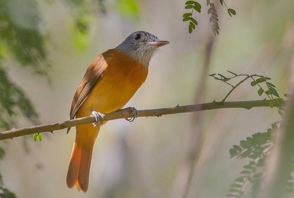Gray-hooded Attila - Brazilian Birds - Species # 254