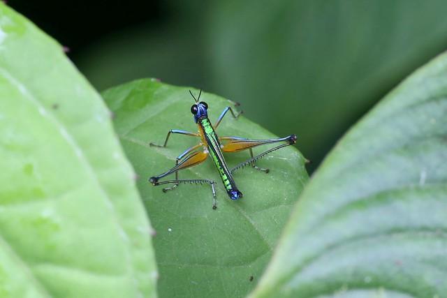 Eumastax sp. (Eumastacidae: Eumastacinae: Eumastacini)