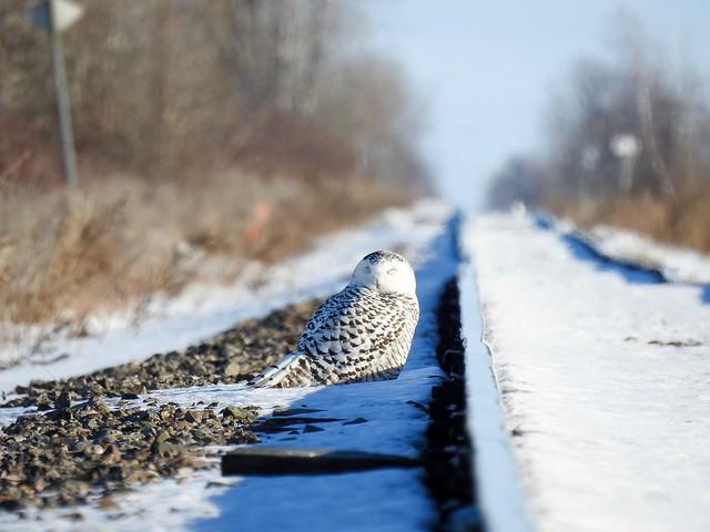 Harfang des neige