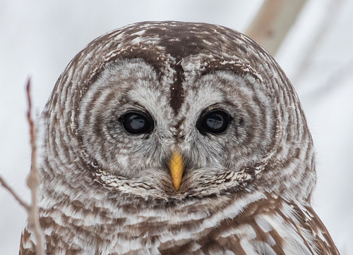 Barred Owl | by Laura Erickson