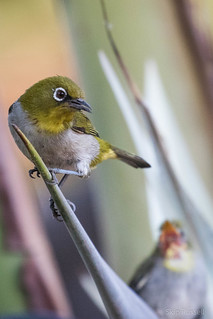 Madagascar White-eye | by skuarua