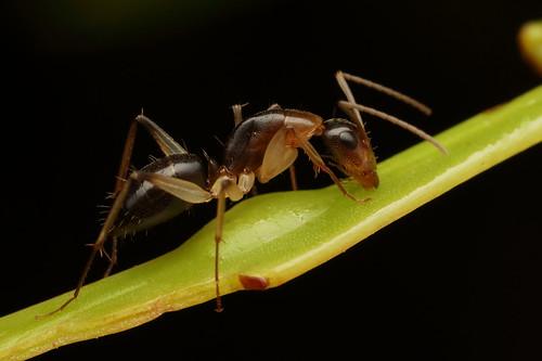 A Sugar Ant (Camponotus sp) licking liquid off a Golden Wattle leaf
