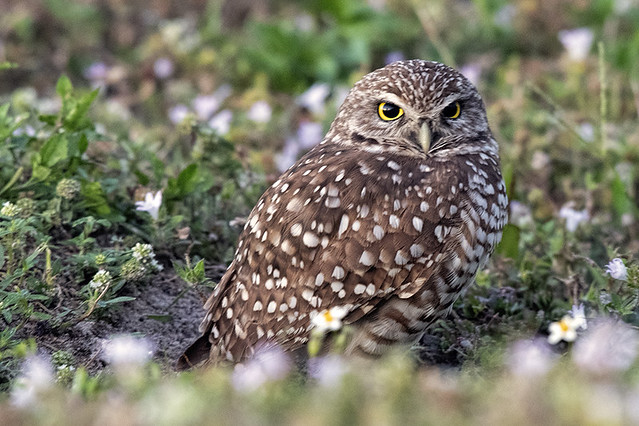 Brian Piccolo Park: Burrowing Owl at Parking Lot
