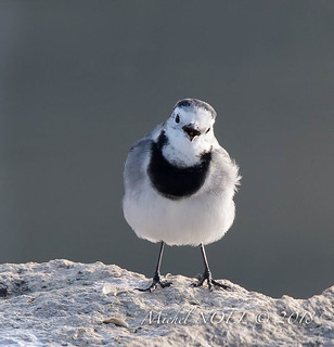 Bergeronnette grise - Motacilla alba - White Wagtail : Michel NOËL © 2018-6575.jpg | by Michel NOEL 1,4 M + views .Thanks to visits