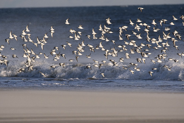 Breezy Pt.: Late Afternoon Sanderlings