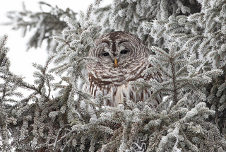 Barred Owl roosting | by Laura Erickson