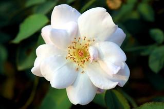 White Rose / সাদা গোলাপ।