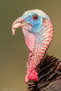 Wild Turkey Portrait | by Matt Bird Photography