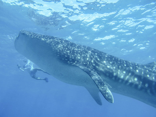 Whale Shark is very big! | by TimoOK