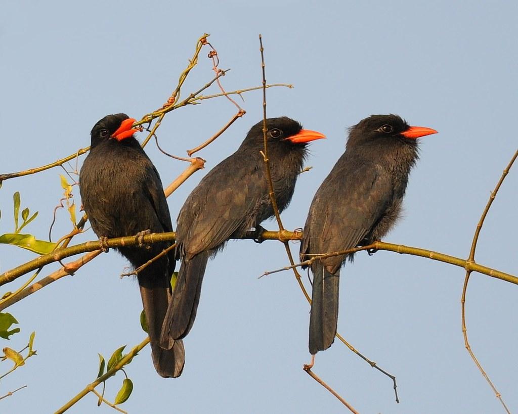 Bico-de-Brasa / Black-fronted Nunbird