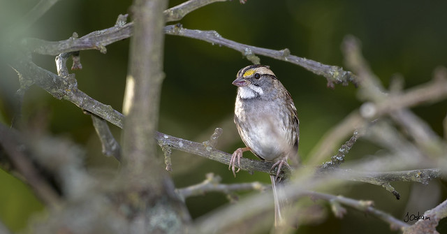 Whte Throated Sparrow