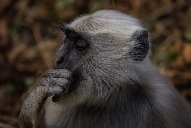 Gray Langur, Jim Corbett National Park, India.