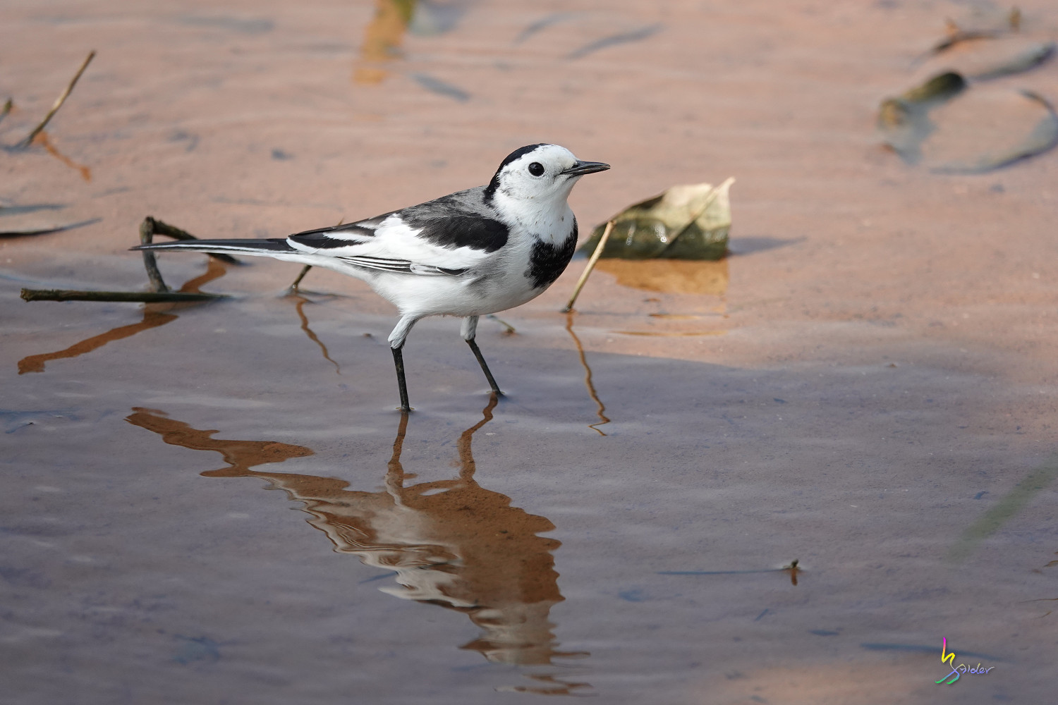 White_Wagtail_SONY_00215