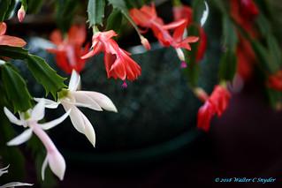 Christmas Cactus No 2