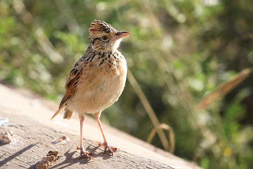 Rufous-naped lark | by dmmaus
