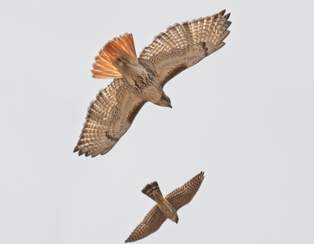Red-tail and Merlin