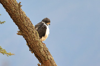 Augur buzzard | by dmmaus