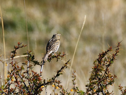 Correndera Pipit / Anthus correndera | by Denis Tetreault