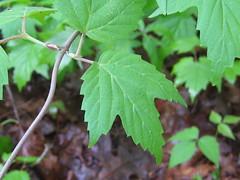 Viburnum acerifolium_6 May 2013