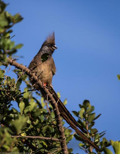 Lake_Naivasha_Kenya_sep18_10_Mousebird | by Valentin Groza