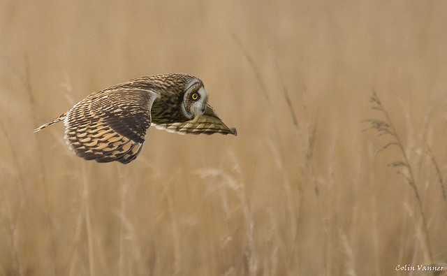 Short Eared Owl inflight