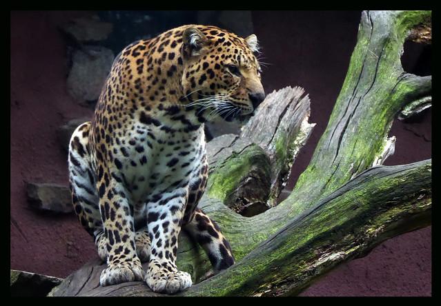018027 Panther in Olmense Zoo Belgium