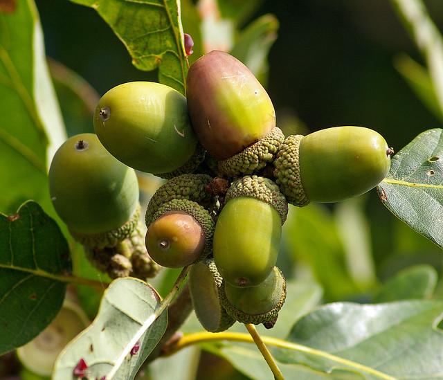 Traubeneiche-Früchte