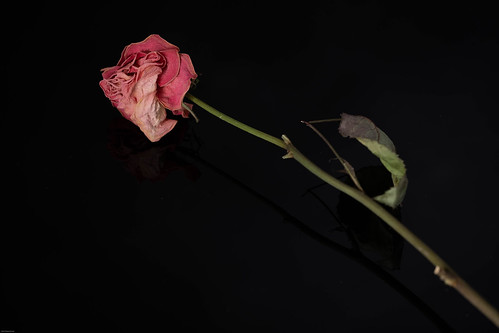 A single rose | by Mandy HeartandSoul