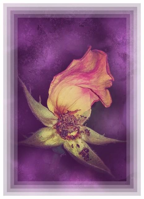 The last rose petal... Still life