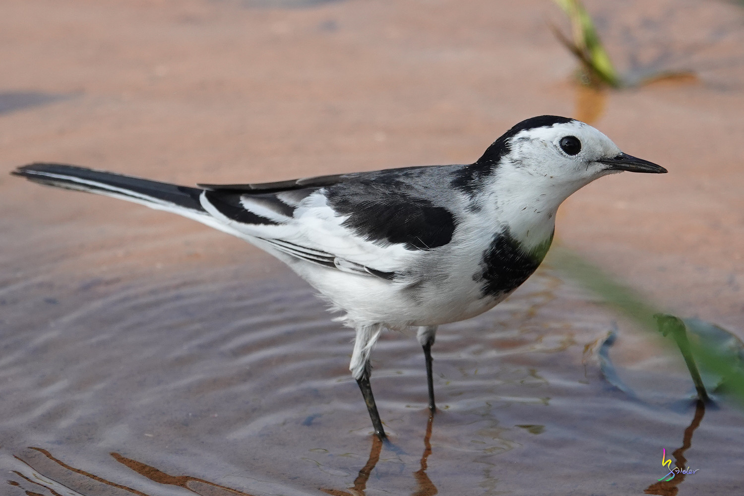 White_Wagtail_SONY_00217