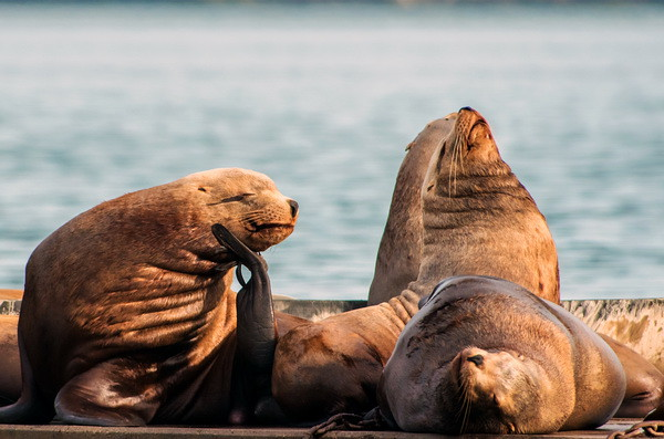 cowichan bay sea lions-0915