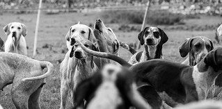 Foxhounds | by Doug86