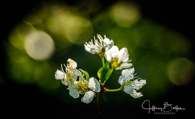 Apricot Blossoms-30547