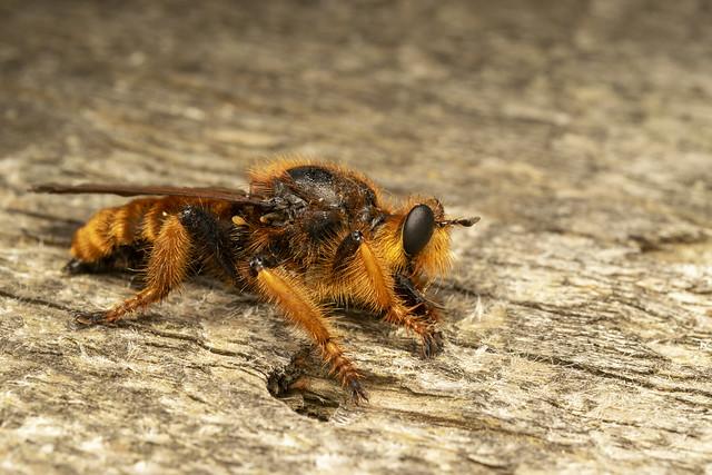 Giant robber fly (lat. Pogonosoma maroccanum) 5